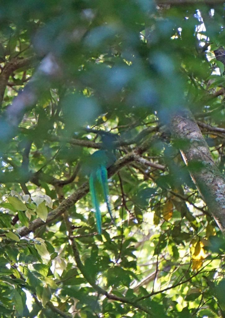 Male Quetzal Showing Long Tail Feathers