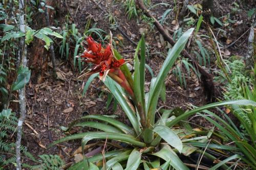 Bromeliad in Arvi