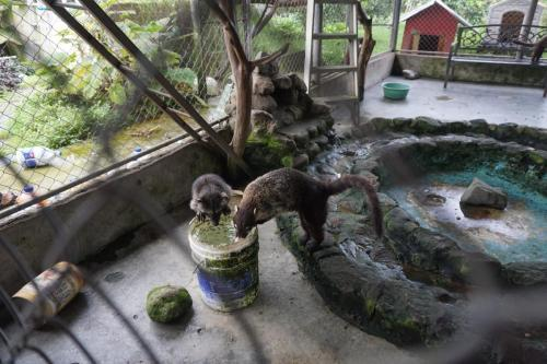 This blind raccoon and a coati getting a drink of water together. Such buds!