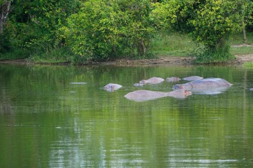 Hippos in lake