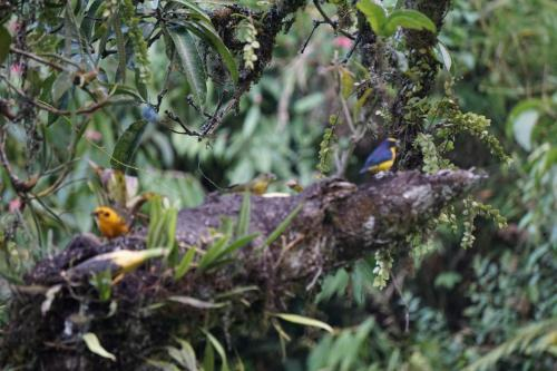 Three birds on branch, left is yellow, middle is harder to see, yellow and blue on right