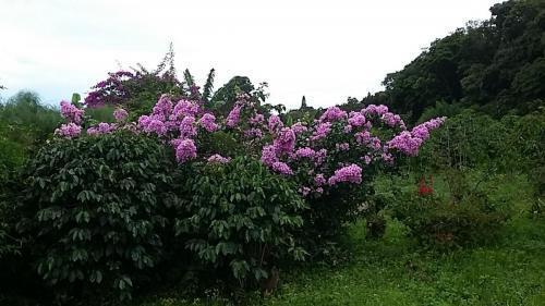 Bougainvilleas are abundant in Central America