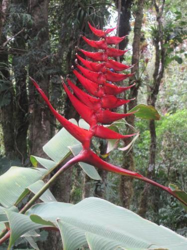 """A type of heliconia, or """"Lobster Claws"""""""