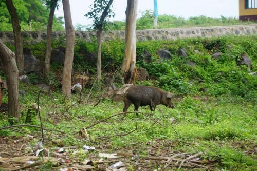 Pig Wandering Around Countryside