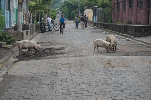 Pigs in Street
