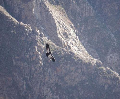 Condor soaring